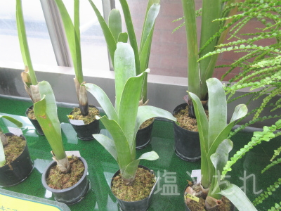 IMG_2163ブロッキニア_20151021_01_夢の島熱帯植物館