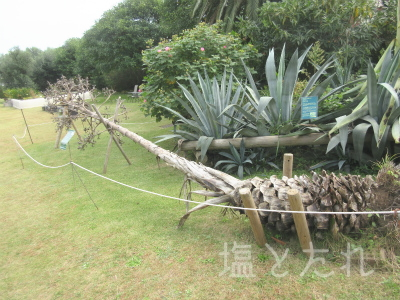 IMG_2180アオノリュウゼツラン_20151021_01_夢の島熱帯植物館