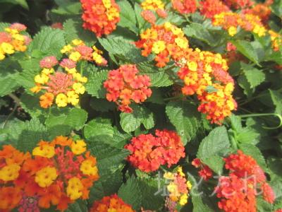 IMG_2185ランタナ_20151021_01_夢の島熱帯植物館