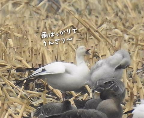 20151111hakugan2.jpg
