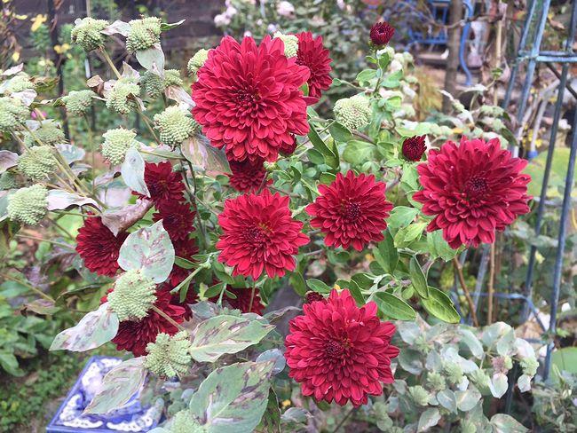 10,25赤ポンポン菊