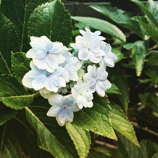 狂い咲きアジサイ