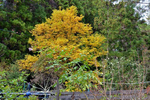 12,6シバ栗の木