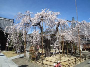 兎川寺のしだれ桜