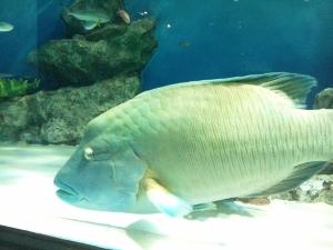 でかい魚 (300x225)