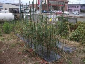 151029トマト畑