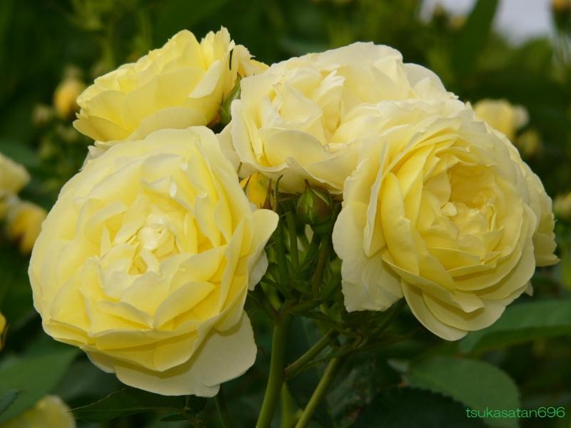 20080518_rose_02