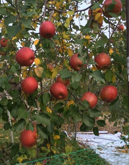 リンゴ畑~