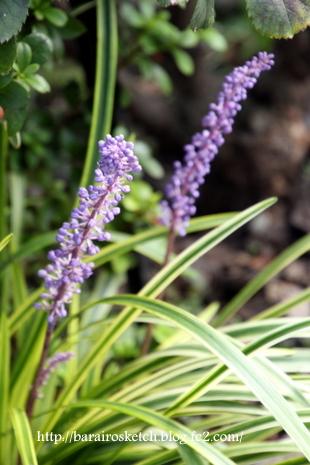 ヤブラン花
