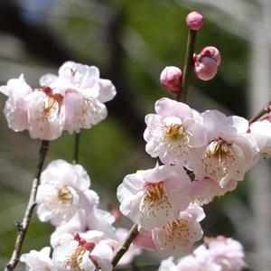 ホクラの梅