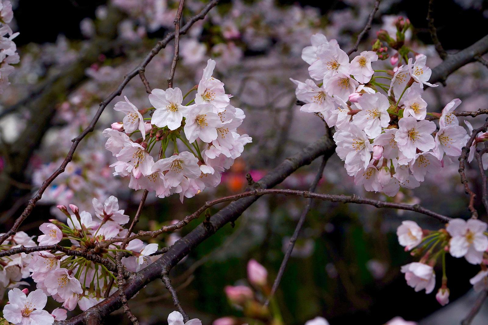 中目黒 桜まつり5