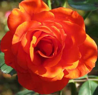 aw京成薔薇とスカイツリー 421