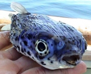 pescabonita