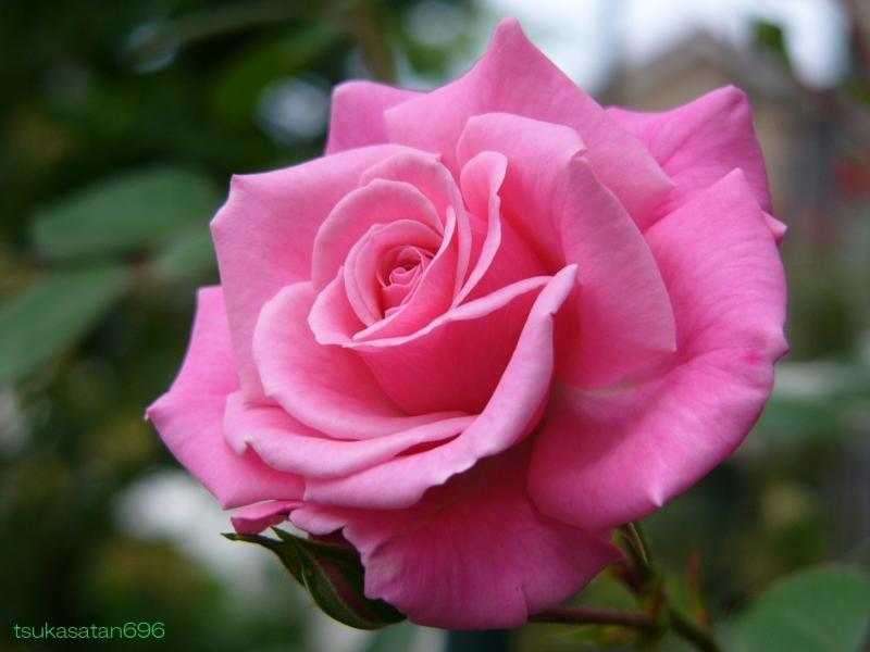 20080518_rose_01
