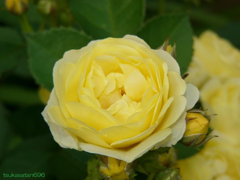 20080518_rose_03