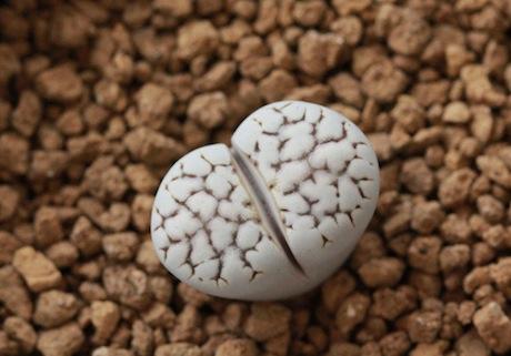 リトープス・C205大理石